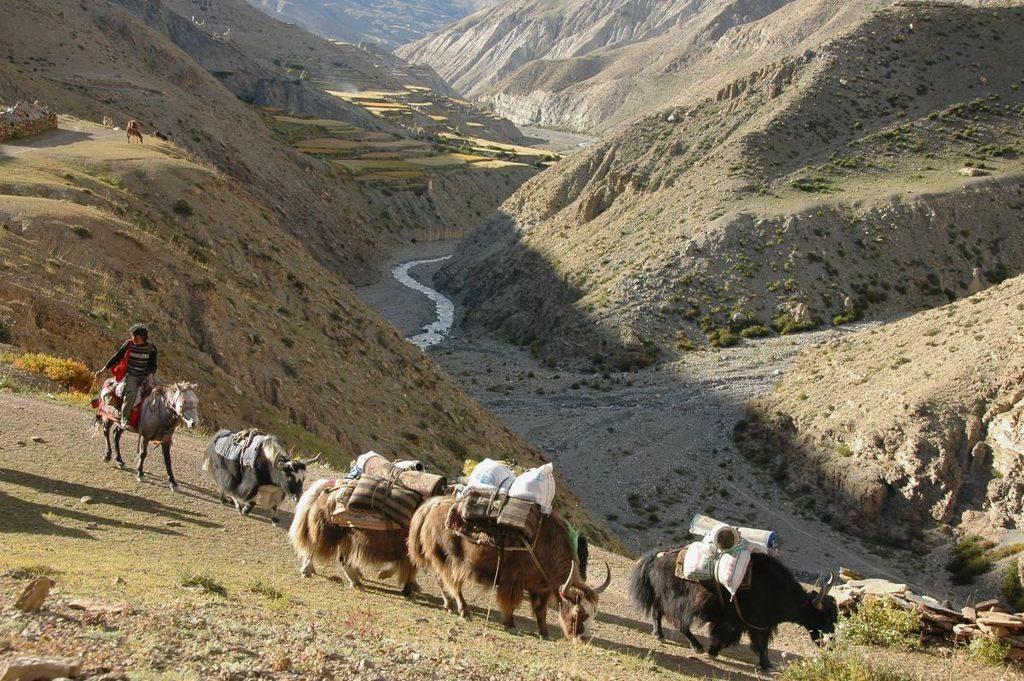 yak-caravan-passing-saldan-dolpo